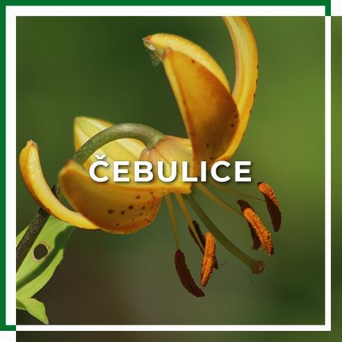 cebulice