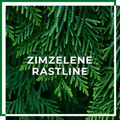 zimzelene_rastline